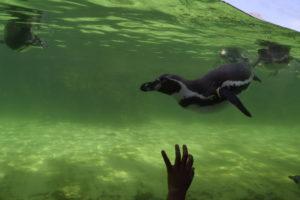 ペンギン水中