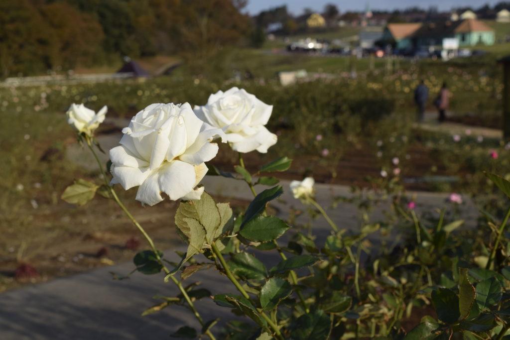 白い秋バラ