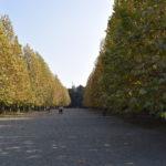 プラチナス並木