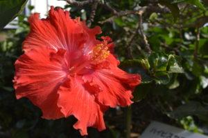 植物園のハイビスカス