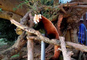 木登りするレッサーパンダ