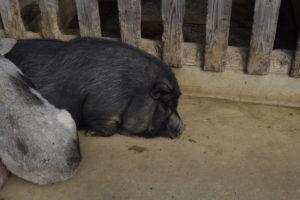 休憩中の豚