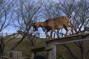 成田ゆめ牧場のヤギ