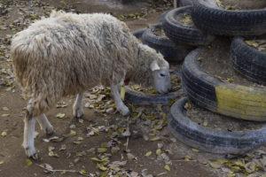 のんびりと歩く羊