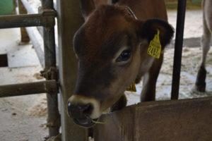 子供のジャージー牛
