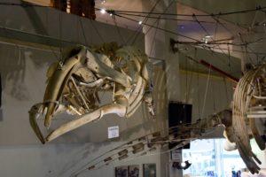 つりさげられた骨格標本