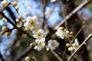 三渓園白梅