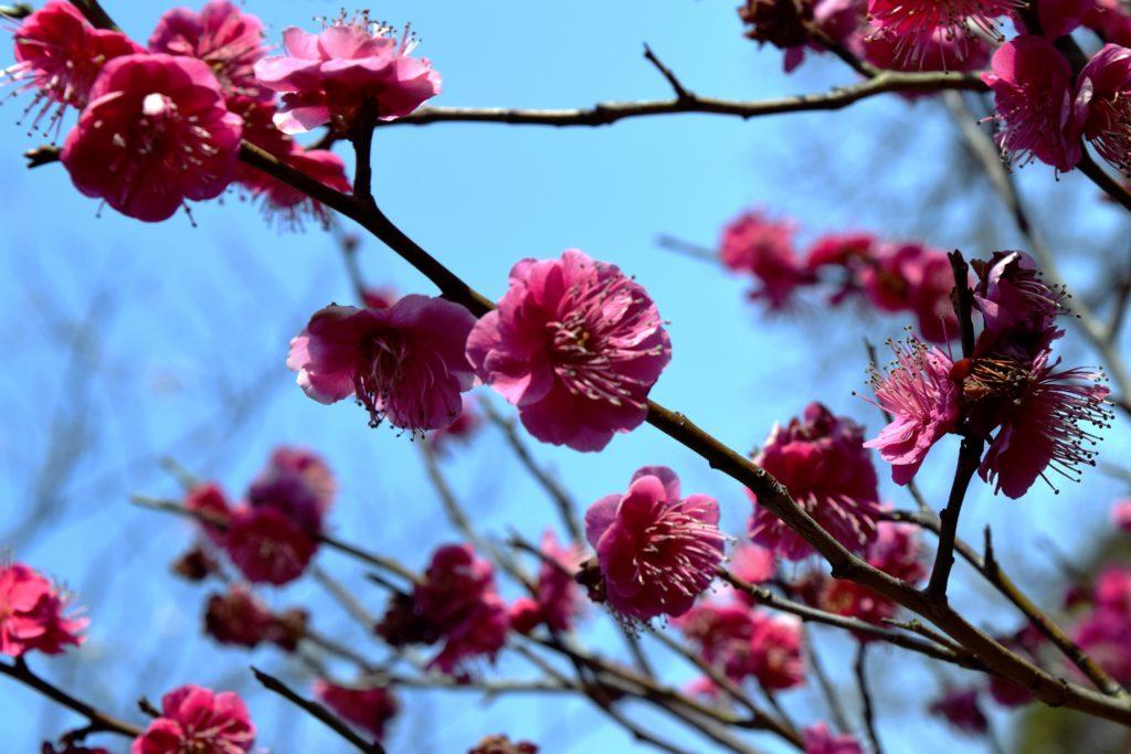 三渓園の紅梅