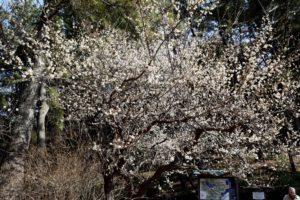 三渓園の白梅