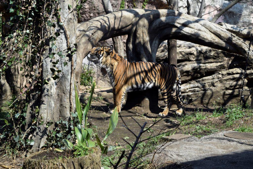 上野動物園のスマトラトラ