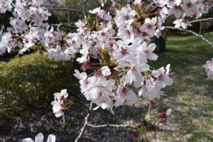 佐倉城の桜