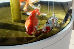 金魚館の金魚