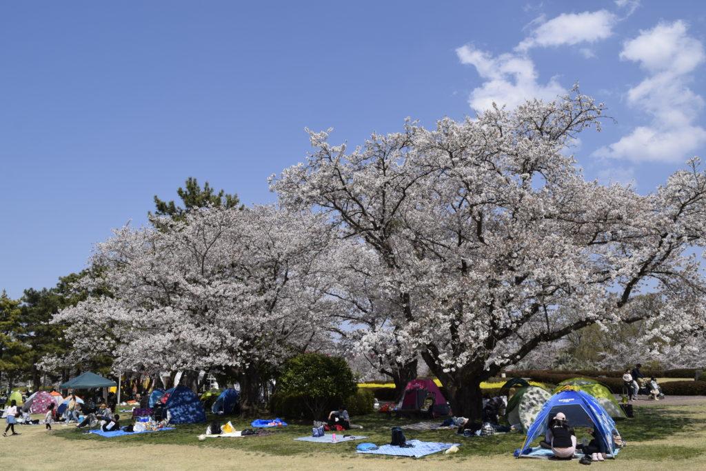 キッズダムの広場に咲く桜