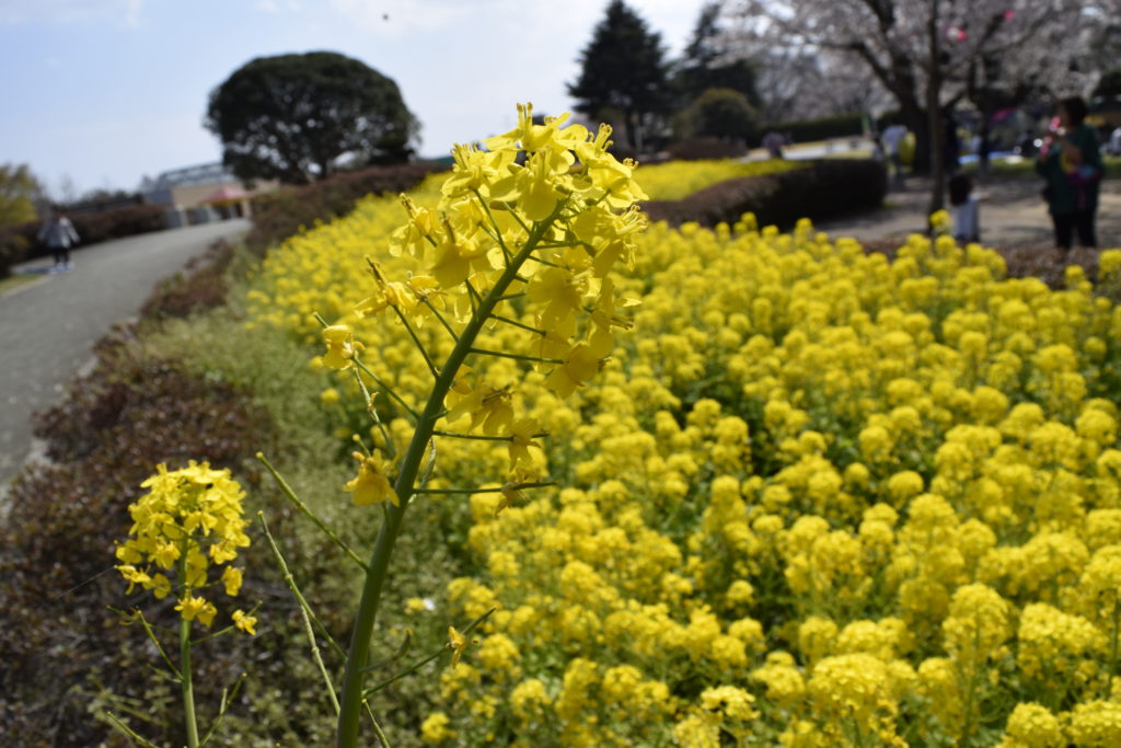 キッズダムのダムに咲く菜の花